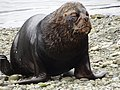 17 Puerto Montt (47) morski lev.jpg