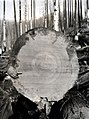 1941. Cross-section of fire-killed Douglas-fir. End of log 1; 60 feet from base. Gallery 6.5 inches deep; sap approximately 2.5 inches. Deterioration studies. Tillamook Burn, Oregon. (26649342608).jpg