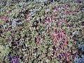 200410 Aptenia cordifolia.JPG