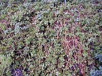 200410 Aptenia cordifolia