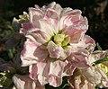 2006-11-16Matthiola06-03.jpg