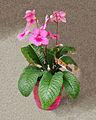 2007-03-20Streptocarpus03.jpg