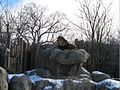2009 FranklinParkZoo lion Boston.jpg