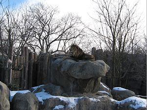 Franklin Park Zoo - Image: 2009 Franklin Park Zoo lion Boston