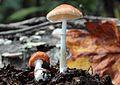 2012-09-08 Leucoagaricus rubrotinctus (Peck) Singer 260223.jpg