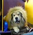 2013 Westminster Kennel Club Dog Show- Tibetan Mastiff (8469038158).jpg