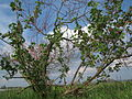 20140326Ribes uva-crispa01.jpg