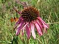 20140827Echinacea purpurea3.jpg