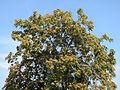 20140905Ailanthus altissima2.jpg