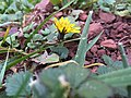2015-12-13 16 33 07 Dandelion blossom in December along Tranquility Court in the Franklin Farm section of Oak Hill, Fairfax County, Virginia.jpg