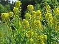 20150510Barbarea vulgaris1.jpg