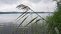 2016.07.17.-08-Westensee Felde--Schilf mit Wassertropfen.jpg