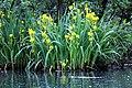 20160522 032 Kessel Weerdbeemden Gele lis Iris pseudacorus (27168264165).jpg