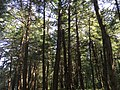 2017-09-10 13 24 08 View into the canopy of a grove of Eastern Hemlocks along the Cove Trail on the south side of Spring Lake's cove in Berlin, Rensselaer County, New York.jpg