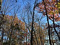2017-11-23 13 05 22 View up into the canopy of several trees during late autumn along Stone Heather Drive near Stone Heather Court in the Franklin Farm section of Oak Hill, Fairfax County, Virginia.jpg