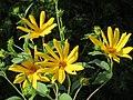 20170901Helianthus tuberosus1.jpg