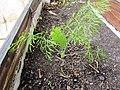 2018-02-09 New Fennel plant (Foeniculum vulgare), Albufeira.JPG