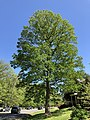 2019-04-27 15 08 12 White Oak leafing out in mid-Spring along Franklin Farm Road in the Franklin Farm section of Oak Hill, Fairfax County, Virginia.jpg