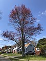 2020-04-19 11 34 29 Red Maple heavily laden with immature seeds along Stratford Avenue in the Parkway Village section of Ewing Township, Mercer County, New Jersey.jpg
