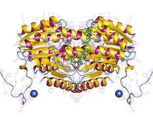 11β-Hydroxysteroid dehydrogenase - 11-beta-hydroxysteroid dehydrogenase 1, dimer, Human