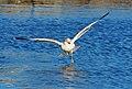 364-366 Ring-billed Gull - Larus delawarensis, Leesylvania State Park, Woodbridge, Virginia - Flickr - Judy Gallagher.jpg