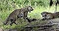 4517 Pantanal jaguars JF8.jpg