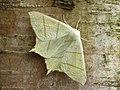 70.243 BF1922 Swallow-tailed Moth, Ourapteryx sambucaria (3122497680).jpg