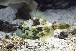 Un poisson-lime réticulé, en Crète