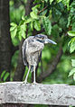 AR PN COSTA03 SANTAY FAUNA Yellow Crowned Night Heron 023 (14200318393).jpg