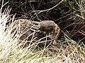 A Mountain Hare Leveret - geograph.org.uk - 1263133.jpg