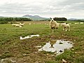A Sheep Reflects on Life - geograph.org.uk - 176142.jpg