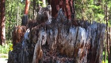 File:A Spring Morning with a Carpenter Ant Colony in an Old Fir Stump in East Knox Mountain Park.webm