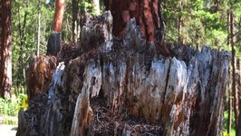 Bestand:A Spring Morning with a Carpenter Ant Colony in an Old Fir Stump in East Knox Mountain Park.webm