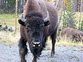 A bison in Yellowstone National Park.JPG