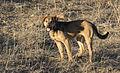 A dog in Güzelim.jpg