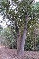A ficus tree growing on a sal tree in Katerniaghat WLS AJTJ.jpg
