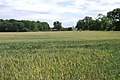 A field of wheat near Wedgnock Park Farm - geograph.org.uk - 1401875.jpg