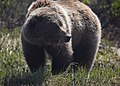 A grizzly looks up from eating grasses in Denali (843537b9-bd54-4671-b491-2832f247df56).jpg
