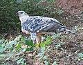 A juvenile Crowned Eagle over its prey.jpg