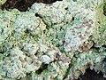 A lichen - Baeomyces rufus - geograph.org.uk - 1051534.jpg