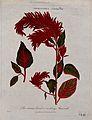 A plant (Amaranthus cruentus); flowering stem. Coloured etch Wellcome V0044293.jpg