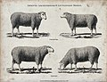A ram and ewe of the Leicestershire and Lincolnshire breeds Wellcome V0021715.jpg