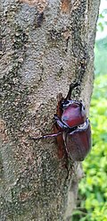 A rhinoceros beetle sucking sap out of a Griffith's Ash.jpg