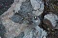 A white-crowned sparrow (3ef5b130-7253-4004-893c-0f70ac493c93).jpg