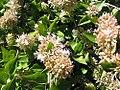 Abelia chinensis 1zz.jpg