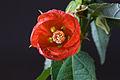 Abutilon hybridum cultivar-002.jpg