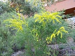 Acacia acinacea 01