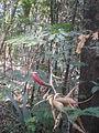 Acacia cornigera.JPG