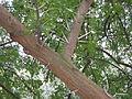Acacia karoo detail.jpg