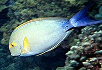 Acanthurus xanthopterus by NPS